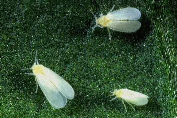 Trialeurodes vaporariorum (whitefly, greenhouse); two adults, together with an adult of Bemisia tabaci (bottom right).