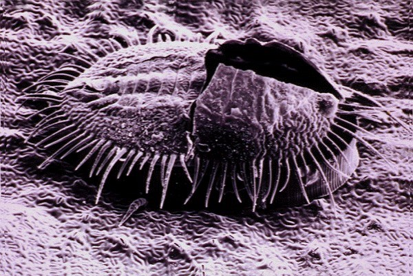 Trialeurodes vaporariorum (whitefly, greenhouse); scanning electron micrograph of pupa.