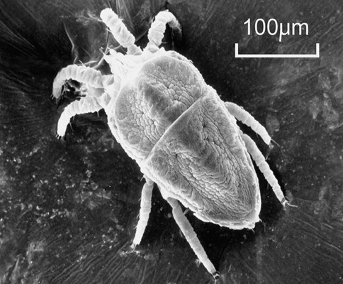 Brevipalpus phoenicis (flat or false spider mite); SEM of adult mite. Note scale.