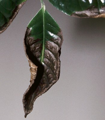 Brevipalpus phoenicis (flat or false spider mite); distorted tea leaf caused by the attack of B. phoenicis.