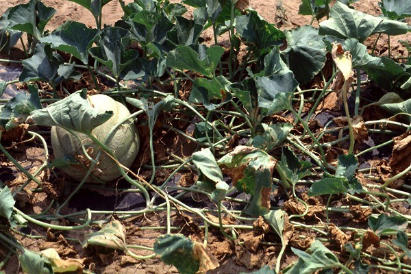 Example of plant (Canteloupe melon) infected with bacterial wilt, vectored by A. vittatum.