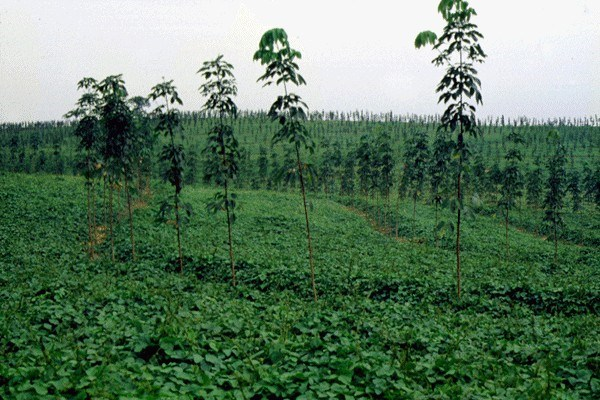 As cover crop in young rubber, Indonesia.