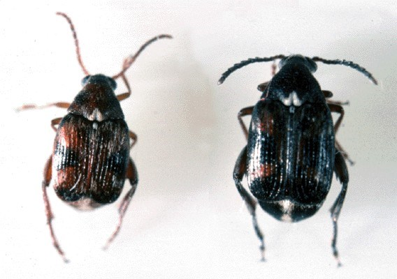 Callosobruchus maculatus (cowpea weevil); flight form male (left) and female (right).