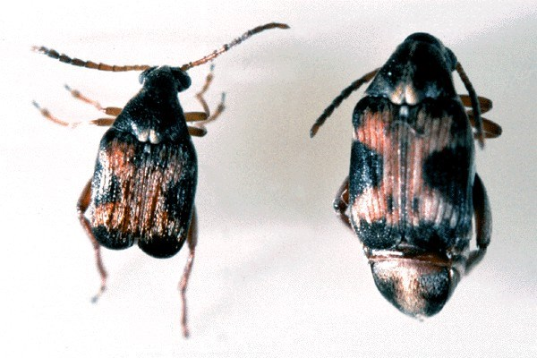 Callosobruchus maculatus (cowpea weevil); normal or storage form male (left) and female (right).