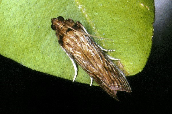 C. sagittiferella is a grey-brown moth, with a wingspan of about 27 mm. The forewings are yellowish or greyish-brown with darker scales along the veins and with a poorly marked median band.