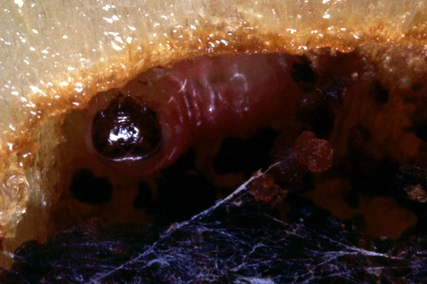 Larva in a plum fruit.
