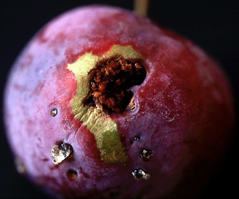 Plum fruit damaged by C. funebrana larvae.