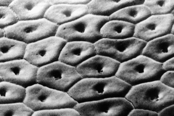 Surface of C. compressus achenes at stylar shoulder. Cytotype with n=64. Scale bar, 20 µm.