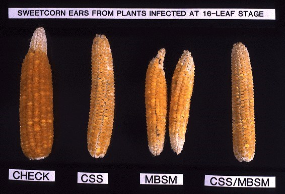 Sweetcorn ears, left to right: control; infected with S. kunkelii (CSS); with maize bushy stunt mycoplasma (MBSM); and with both diseases (transmitted by Dalbulus maidis).