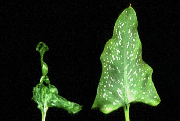 Systemic symptoms on DsMV-infected Zantedeschia elliottiana (distortion and mosaic).