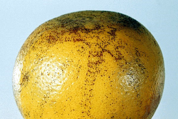 Melanose is essentially a non-progressive skin blemish since, as the fruit develops on the tree, the fungus dies back and causes no further damage; this is in marked contrast to its behaviour when infecting the stem-end.