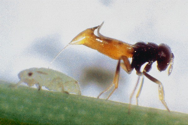 Diuraphis noxia (Russian wheat aphid); the parasitoid, Aphelinus asychis (Hymenoptera: Aphelinidae) ovipositing into an aphid.