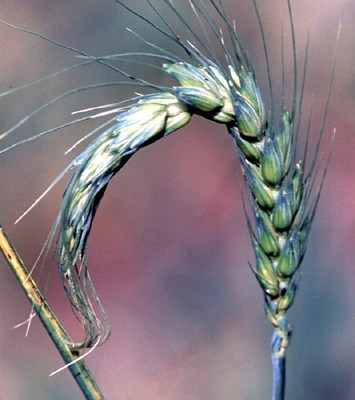Diuraphis noxia (Russian wheat aphid); 'fish-hook' shape spike on wheat caused by aphid infestation.