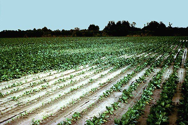 Sugarbeet field showing damage caused by H. schachtii, in California, USA.
