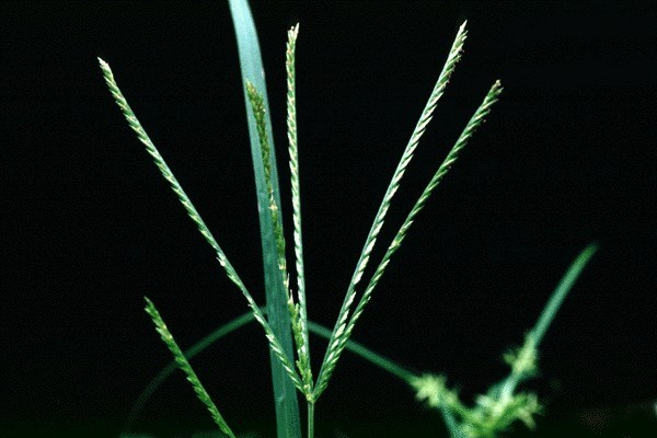 The narrow rachis, about 1 mm wide, has two dense rows of almost glabrous spikelets, each 2.5-3 mm long.