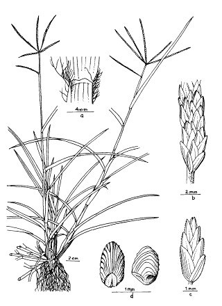A. Ligule, ventral view; B, part of spike; C, spikelet; d, caryopsis, two views.