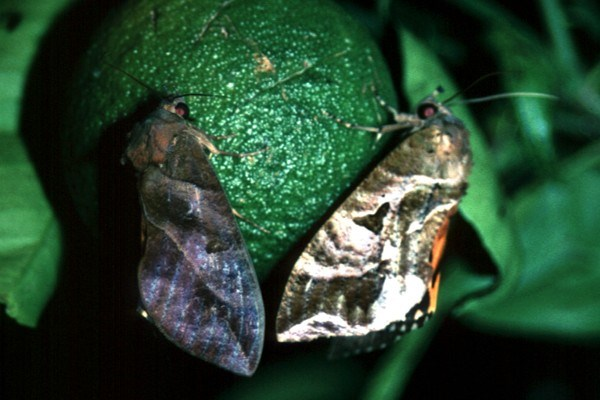 Male (left) and female (right) E. fullonia on a green mandarin fruit.