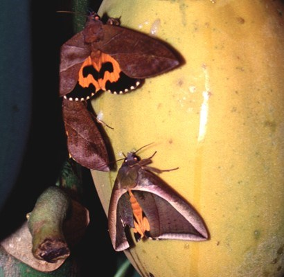 Two adult male E. fullonia above and E. salaminia on papaya fruit.