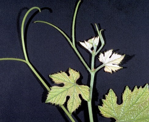 Vitis vinifera (grapevine); tip of a growing shoot of a cultivar.  Note the twice-forked tendrils, which are typically opposite two adjacent leaves, but not opposite each third leaf.