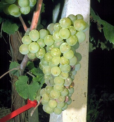 Vitis vinifera (grapevine); a white wine grape during ripening. The green colour fades (in black grapes anthocyanins are rapidly accumulating in the skin), berry texture softens, sugars accumulate and the acidity decreases.