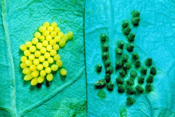Mamestra brassicae eggs; those on the right have been parasitized by T. evanescens.