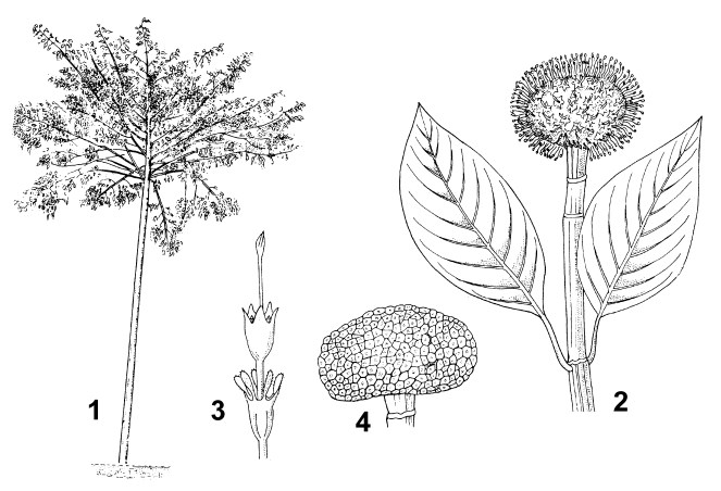 1. habit of young tree 2. twig with inflorescence 3. flower 4. infructescence