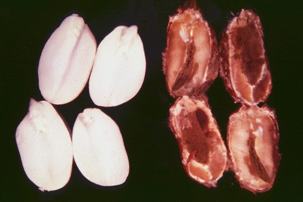 Seeds damaged by A. flavus (right) are disoloured and rotten. Healthy seeds (left).