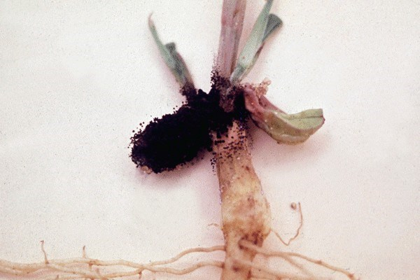 Aflaroot - root damaged by A. flavus.