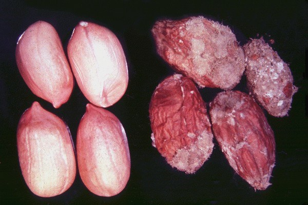 Comparison of healthy seeds (left) with seeds damaged by A. flavus (right).