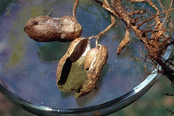 Groundnut seed infected by A. flavus.