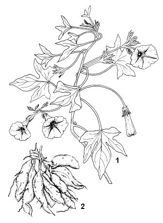 Ipomoea batatas: 1, flowering branch; 2, storage roots.  Reproduced from the series 'Plant Resources of South-East Asia', Vols 1-20 (1989-2000), by kind permission of the PROSEA Foundation, Bogor, Indonesia.