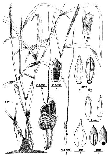 a, Ligule; b, sessile and stalked spikelet; c, sessile spikelet - lower glume (G1), ventral view; d1-2, sessile spikelet - upper glume (G2), dorsal and ventral views; e, lower lemma (L1), ventral view; f, lower palea (P1), ventral view; g, upper lemma (L2), lateral view; h, upper palea (P2), ventral view; i, caryopsis, two views.