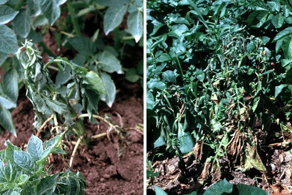 Ralstonia solanacearum (bacterial wilt of potato); Left: early wilting symptoms in a potato plant, natural infection.  Right: severe wilting symptoms in potato, caused by a natural infection.