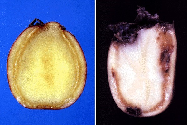 Ralstonia solanacearum (bacterial wilt of potato); left: early symptoms of brown rot in a potato tuber caused by R. solanacearum (natural infection); note vascular browning and drops of bacterial slime.  Right: advanced symptoms of brown rot in a potato tuber (natural infection); note vascular browning and drops of bacterial slime. A blackish soft rot, caused by secondary organisms has already started.