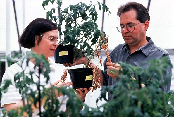Both tomato plants being compared by plant pathologists were exposed to the same Fusarium wilt pathogen, but the healthy one was protected by a benign, saprophytic strain.