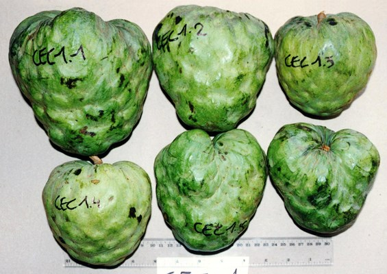 Annona cherimola (cherimoya); fruits vary in shape and appearance. The skin may be smooth with fingerprint-like markings or covered with conical or rounded protuberances.