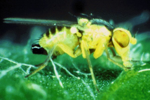 L. trifolii is very small: 1-1.3 mm body length, up to 1.7 mm in female with wings 1.3-1.7 mm.The scutellum is bright yellow; face, frons and third antennal segment bright yellow.