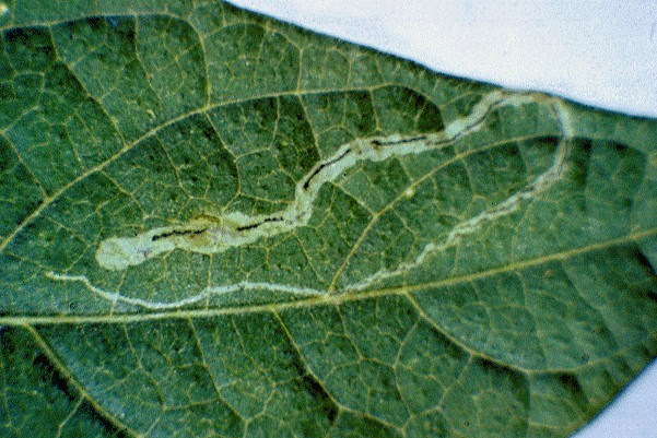 Leaf mine on Phaseolus vulgaris. The frass is distinctive in being deposited in black strips alternately at either side of the mine.