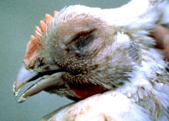 Domestic fowl infected with avian metapneumovirus, showing swollen head and nasal exudate.