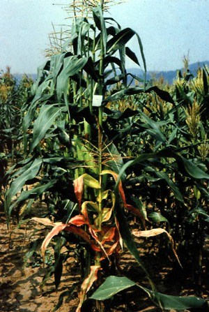 Maize plant in the foreground is infected with MCDV and shows the miniature plant syndrome of stunted plant and proportionately reduced leaf size. The infected plant shows red discoloration of the leaves. The plant in the background is healthy and normal in appearance.