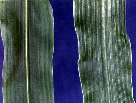 Left: Portion of maize leaf from healthy plant showing normal leaf appearance. Right: Portion of maize leaf from a MCDV-infected maize plant showing diagnostic chlorotic vein clearing or banding symptoms.