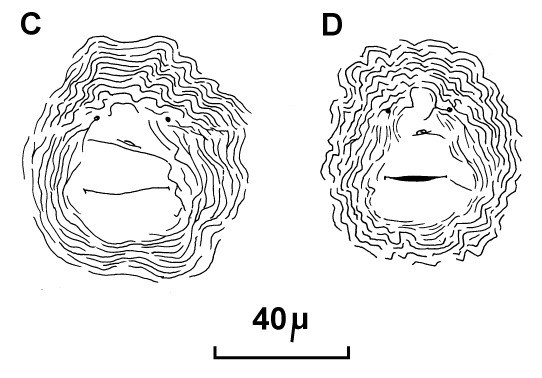 Meloidogyne incognita (root-knot nematode); posterior cuticular patterns of females. (reproduced from Orton Williams KJ, 1973. CIH Descriptions of Plant-Parasitic Nematodes. Set 2, No.18. Wallingford, UK: CAB International.)