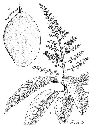M. odorata: 1, flowering branch; 2, branchlet with fruit.  Reproduced from the series 'Plant Resources of South-East Asia', by kind permission of the PROSEA Foundation, Bogor, Indonesia.
