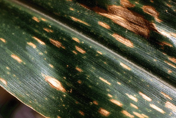 Leaf spots on maize leaf caused by C. heterostrophus.