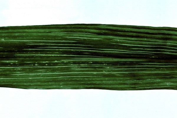 Foliar symptoms of MMV on maize; note fine chlorotic lines on leaf.