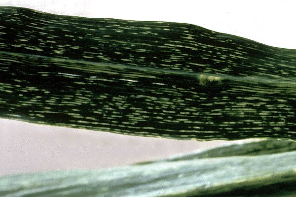 Short chlorotic streaks on maize leaves; in severe cases, initial pale spots or flecks become longer streaks which eventually coalesce.