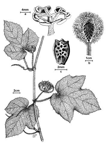 a. androgynophore; b. berry; c. seed.
