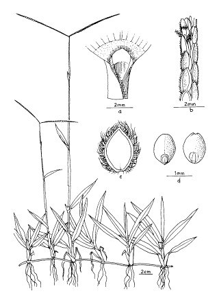 Paspalum conjugatum (buffalo grass); a) Leaflet; b) flower; c) pod intact; d) persistent suture after joint of pod are shed; e) seed and its cross section.