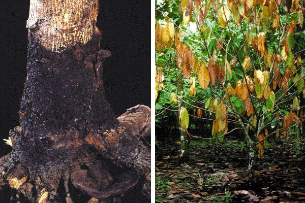 Left: a stump of a Leucaena tree with sporophores emerging from the mycelial sleeve above ground level. Right: cocoa tree with typical wilt symptoms caused by degradation of the root system due to infection with P. noxius.