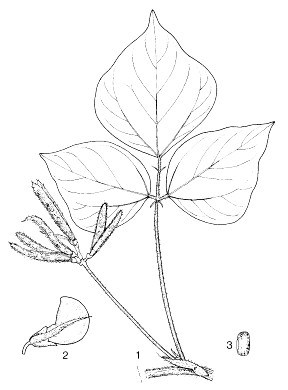 V. mungo: 1, fruiting branch; 2, flower; 3, seed.  Reproduced from the series 'Plant Resources of South-East Asia', by kind permission of the PROSEA Foundation, Bogor, Indonesia.